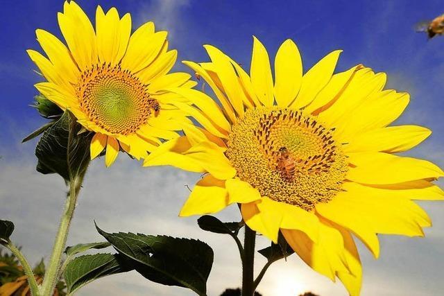 Warum schauen ältere Sonnenblumen nach Osten?