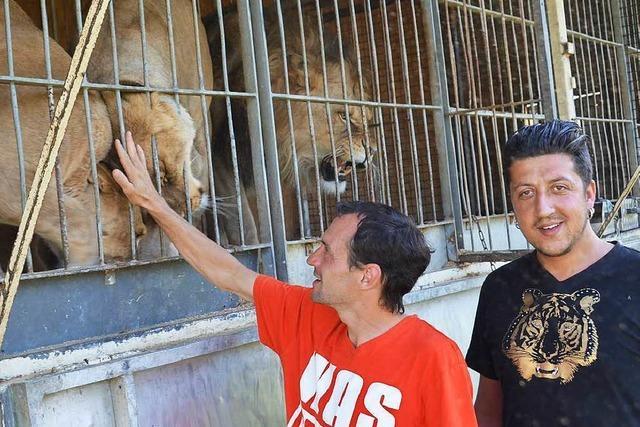 Raubtierhof will mehrere Tiger und Löwen abgeben und Streichelzoo einrichten