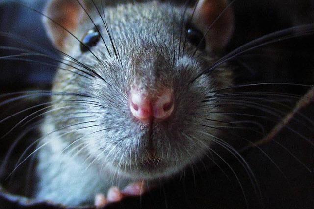 Rattenplage in Kehl: Was können die Bürger besser machen?
