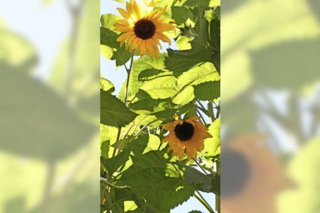 Blütenpracht in Brunnadern