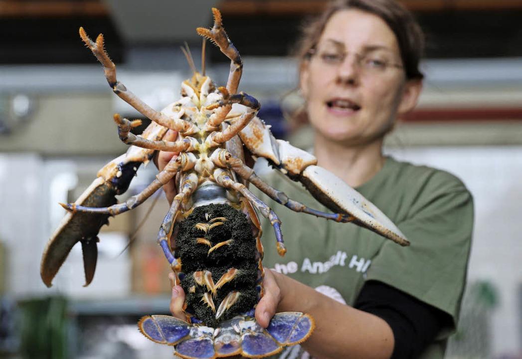 Forscherin Isabel Schmalenbach präsentiert ein eiertragendes Hummerweibchen.   | Foto: DPA