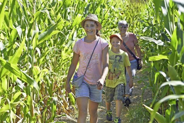Noch bis Sonntag, 18. September, können Abenteuerlustige täglich von 11 Uhr bis Sonnenuntergang im Mais (vorübergehend) die Orientierung verlieren.