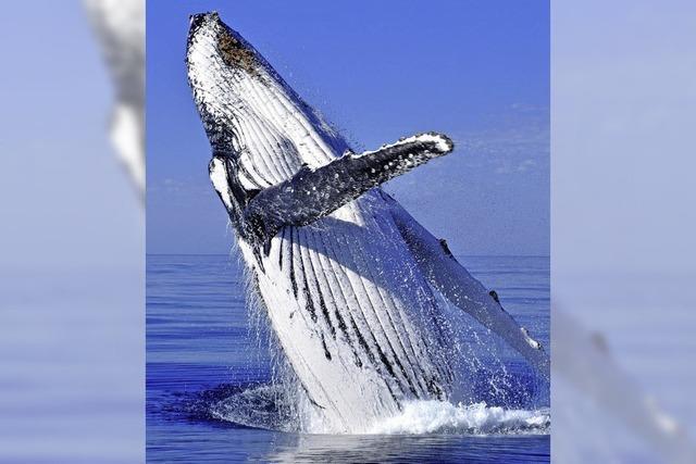 Den Buckelwalen geht es besser