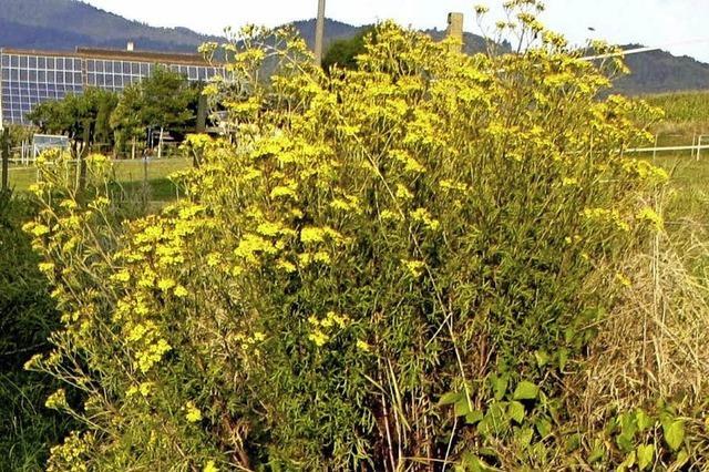 Gelb blühend, aber giftig