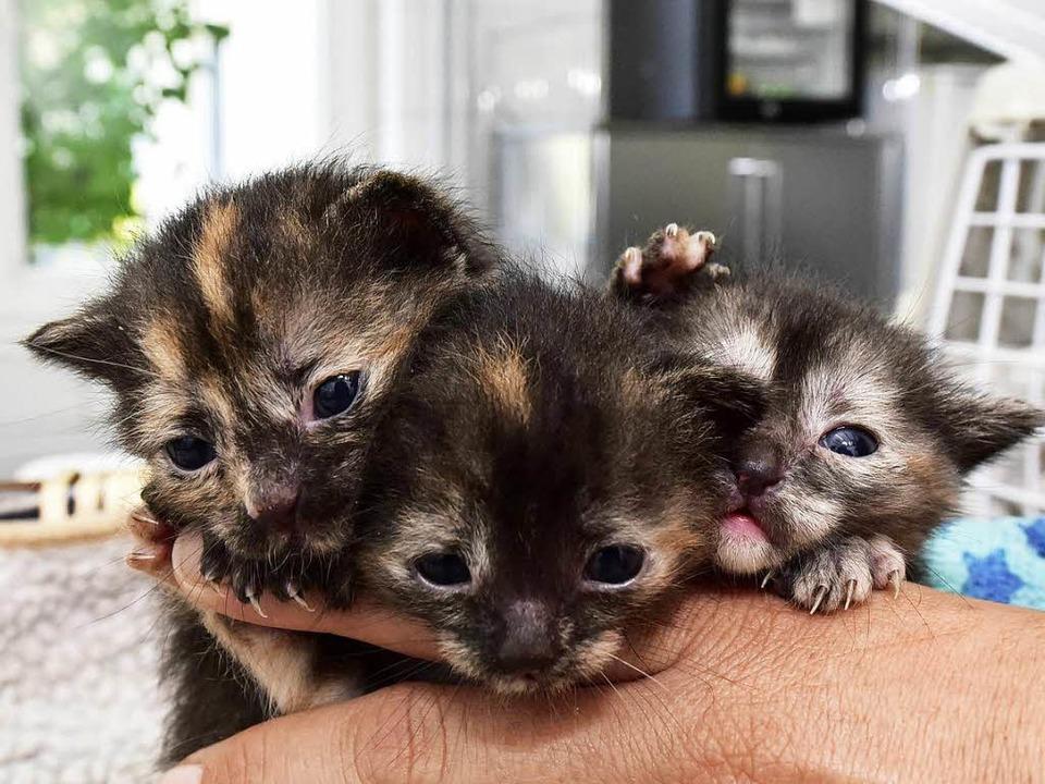 Die drei Katzenbabys sind nach ihrer Odyssee jetzt im Freiburger Tierheim.  | Foto: Thomas Kunz