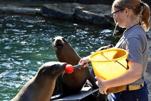 Seelöwen trainieren im Basler Zoo
