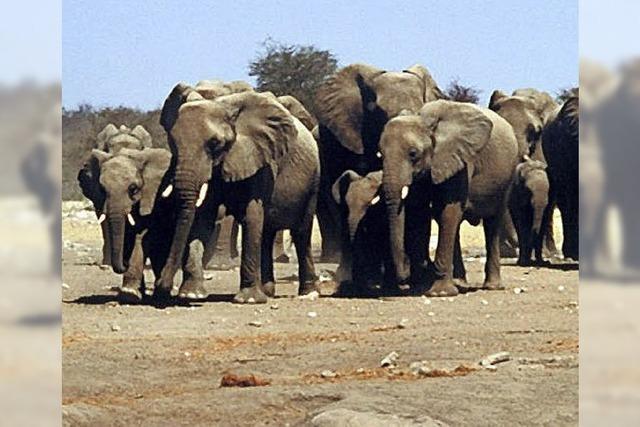 Arzt Martin Eschholz: Namibia und Botswana, Beobachtungen von Elefantenherden. In Schluchsee-Faulenfürst