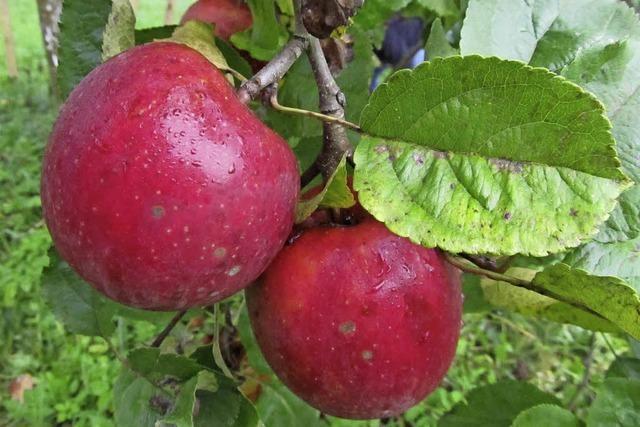Nabu lädt zur Apfelernte ein