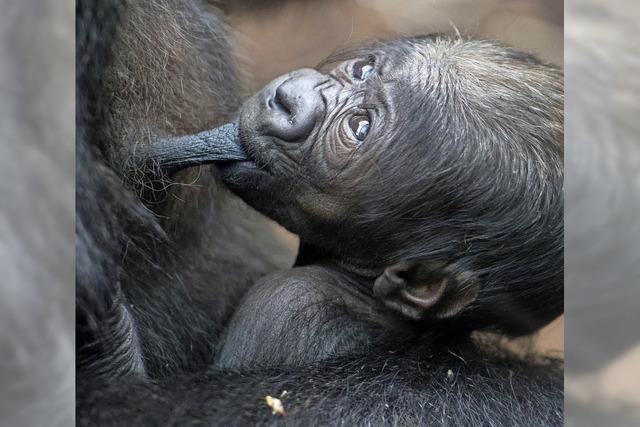 Gorillababy im Frankfurter Zoo