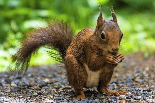 Bührers Eichhörnchen hat gewonnen