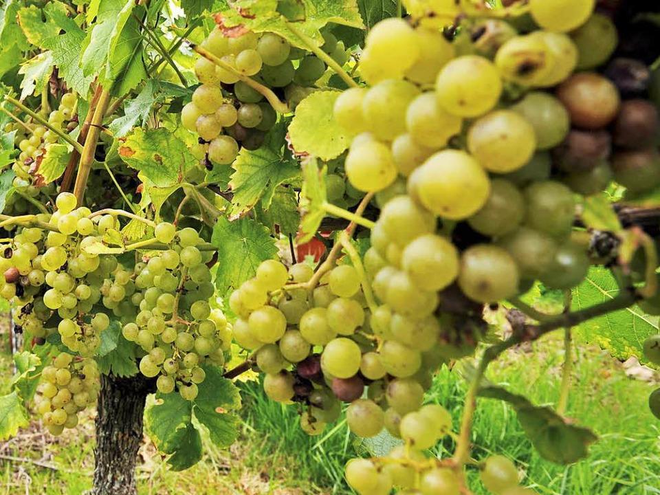 Die Weinlese steht an – der Altd...nfach ist das aber nicht. (Symbolbild)  | Foto: dpa