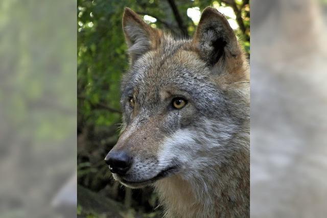 Haus der Natur Feldberg organisiert von Oktober bis Dezember Ausstellung zu Wölfen