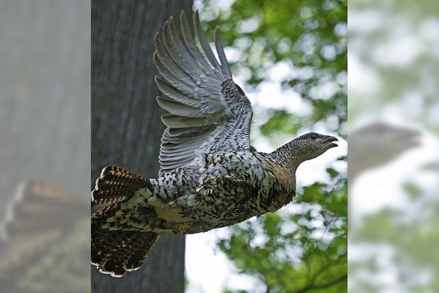 Bürgerinitiative sieht Auerhühner bedroht