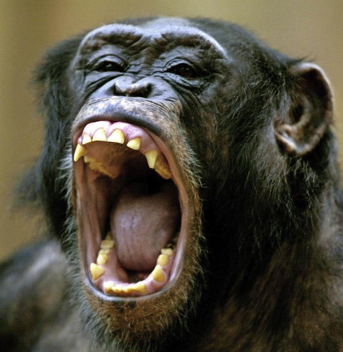 Schimpanse zeigt die Zähne   | Foto: DPA