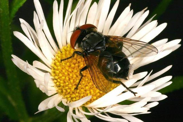 Zahl der Insekten geht dramatisch zurück