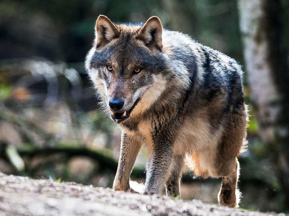 Gilt als Gefahr für die Weidehaltung: ...Auftauchen im Schwarzwald bevorsteht.   | Foto:  DPA