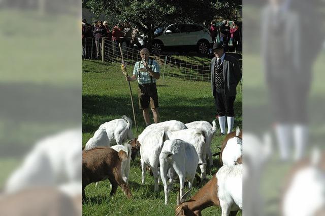 Die Ziegen sind wieder im Tal