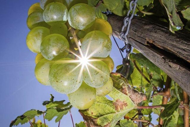 Gute Aussichten für Traubenernte