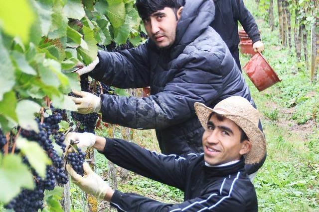 Flüchtlinge helfen bei Weinlese
