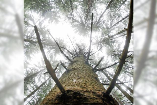 Fichte ist der häufigste Baum in deutschen Wäldern - aber sie ist umstritten