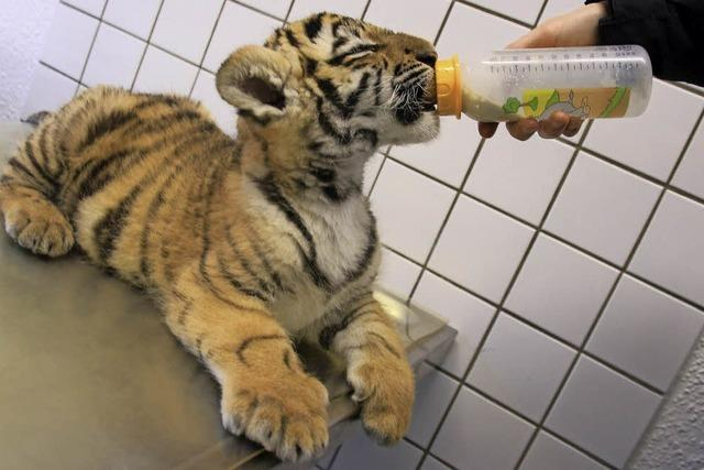 Tierarztpraxis zieht Tigerbaby auf