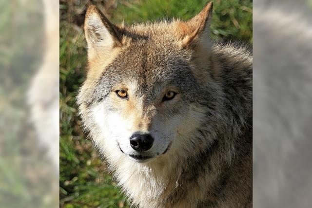 Vortrag: Wenn der Wolf kommt