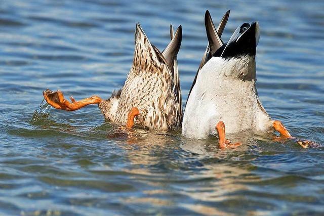 Warum man Enten nicht füttern sollte