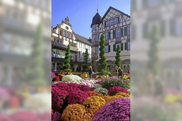 Die Chrysanthema in Lahr - eine Stadt blüht auf