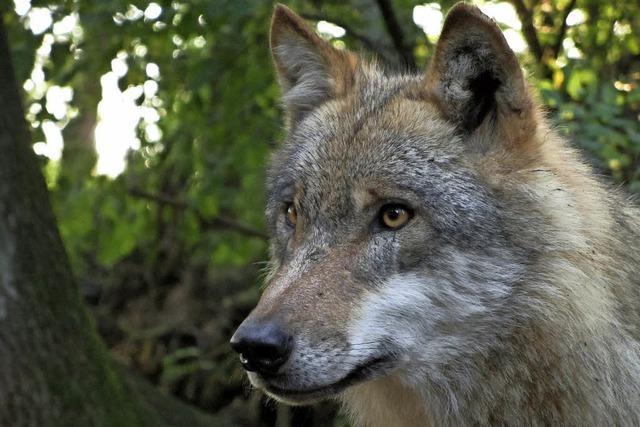 Alles über Wölfe im Haus der Natur am Feldberg