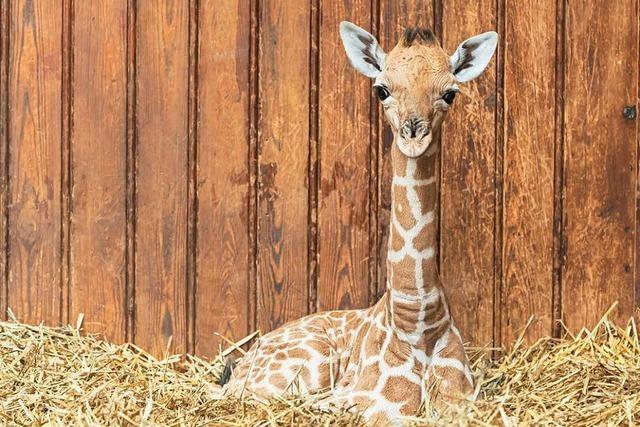 Giraffen-Streicheln unterstützt Heilung von Depressionen