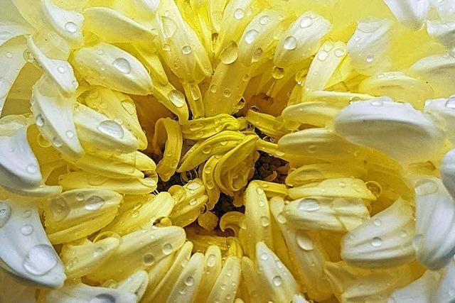 Chrysanthema lockt nach Lahr