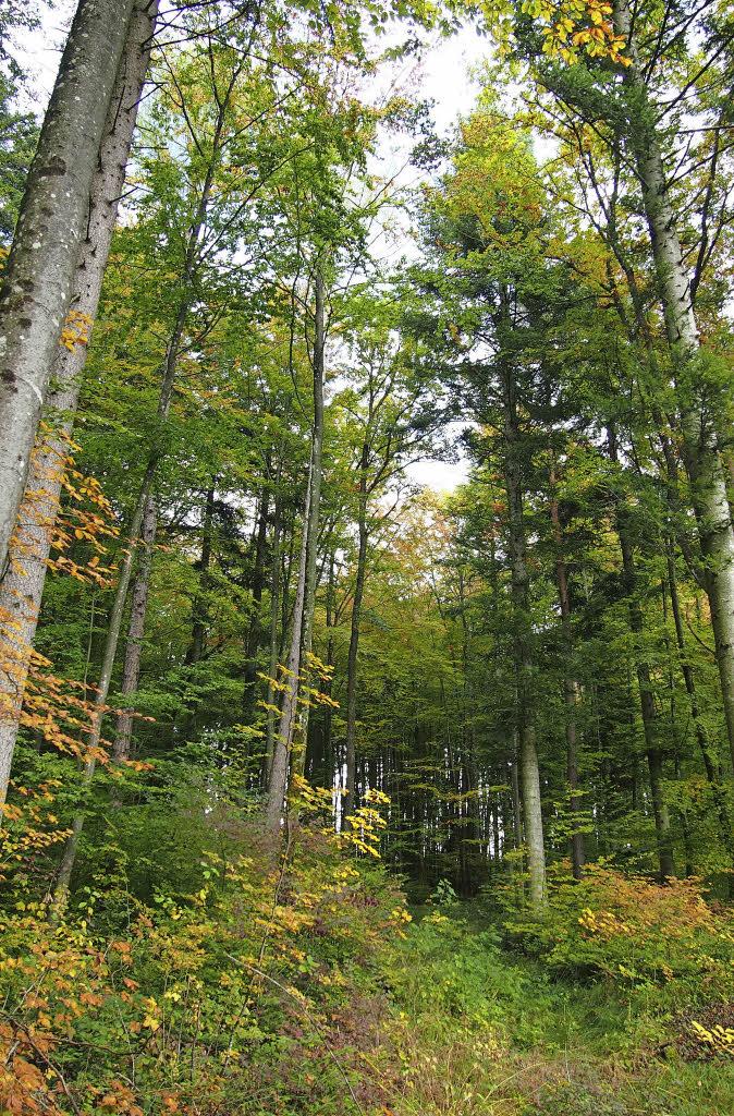 Im Wald werden die Bäume neu gemischt - Steinen - Badische