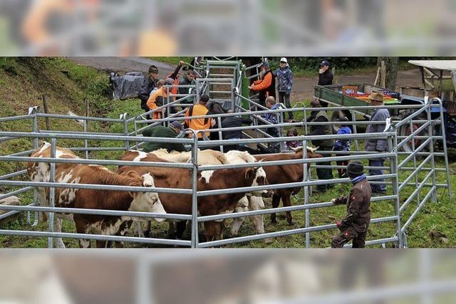 Rinder legen bis zu 170 Kilo Gewicht zu