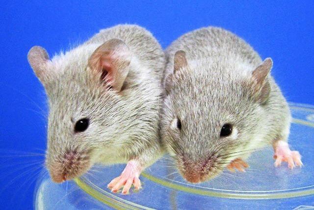 Neue Methode: Aus Schwanz einer Maus werden Eizellen