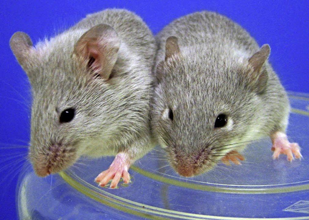 Mäuse, die sich  aus umgewandelten  normalen Zellen entwickelt haben.  | Foto: KYOTO UNIVERSITY