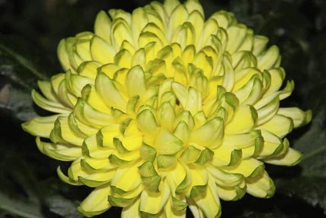CHRYSAN-THEMA : Volle Blütenblätter