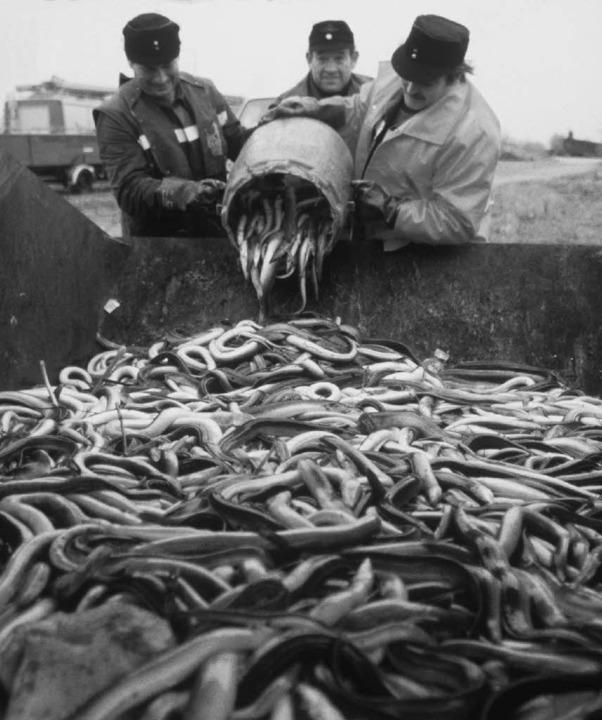 Tonnenweise holten Fischer und Feuerwe... Sandoz-Brand tote Aale aus dem Rhein.  | Foto: Rolf Haid