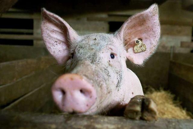 Schweine: Kasperhof im Schuttertal setzt auf Veredelung