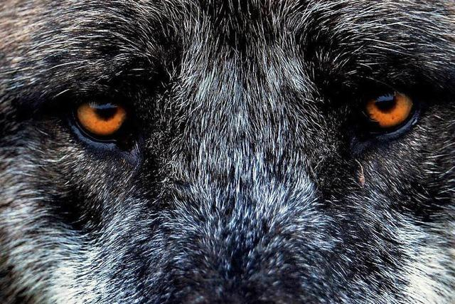 Mythos: Wie aus dem Wolf der böse Wolf geworden ist