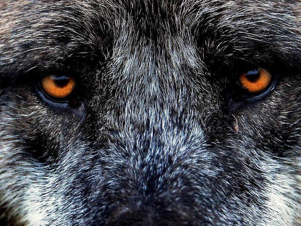 Kaum ein anderes Tier ist allein durch...serem Bewusstsein präsent wie der Wolf  | Foto: dpa