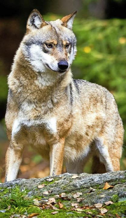 Warum wurde der  Wolf bei Menschen zum bösen Wolf?   | Foto: dpa/Privat