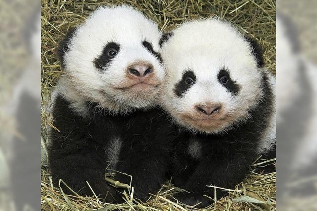 Knuffige Panda-Zwillinge