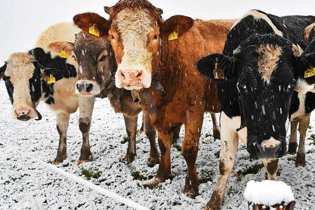 Kuh rutscht in Hinterzarten auf Schnee aus und rammt 87-Jährige um