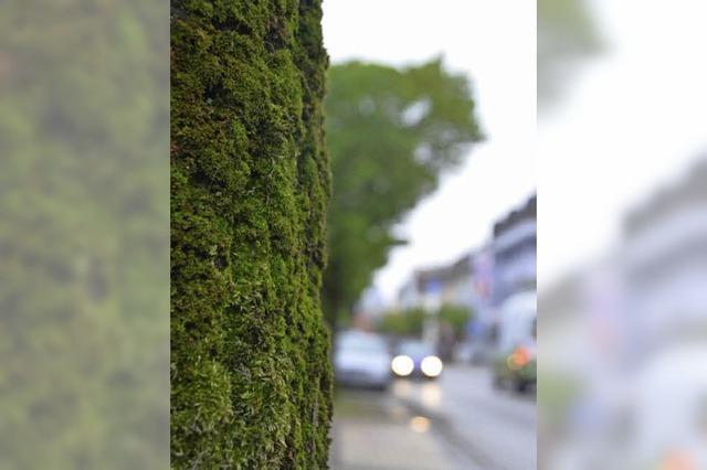 Baumfällaktion in Friedrichtsraße beginnt