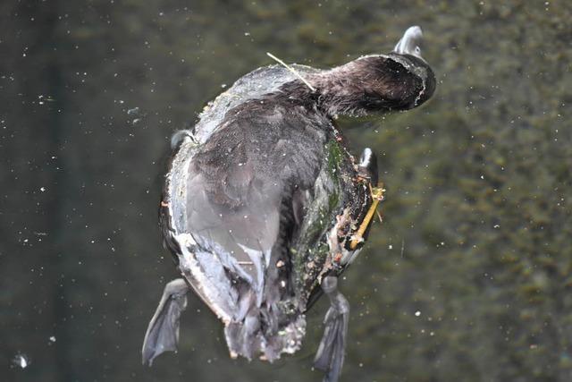 Enten am Bodensee sterben an gefährlicher Form der Vogelgrippe – insgesamt 80 tote Tiere