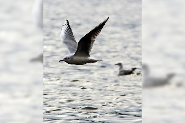 Vogelgrippe am Bodensee