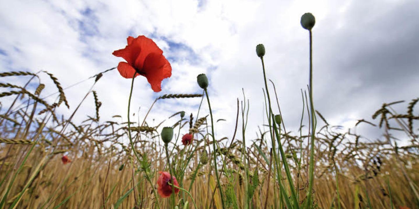So sieht Urgetreide aus: ein Dinkelfeld mit Mohnblumen   | Foto: DPA