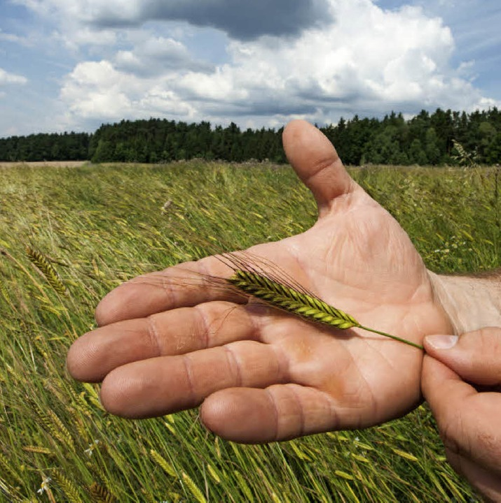 Uraltes Getreide: Einkorn  | Foto: Armin Weigel