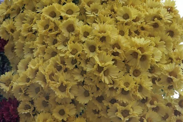 CHRYSAN-THEMA : Üppige Blütenpracht