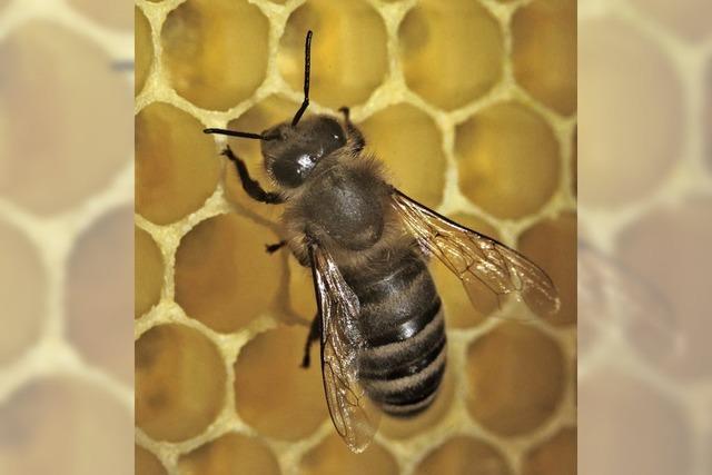 Die Bilanz für Honigbienen fällt gut aus